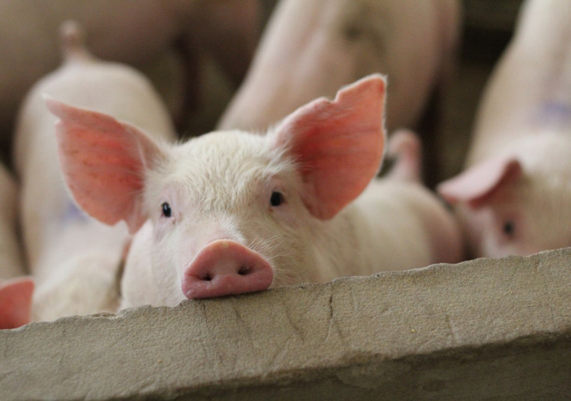 China's imports of whey increase significantly as pork production bounces back