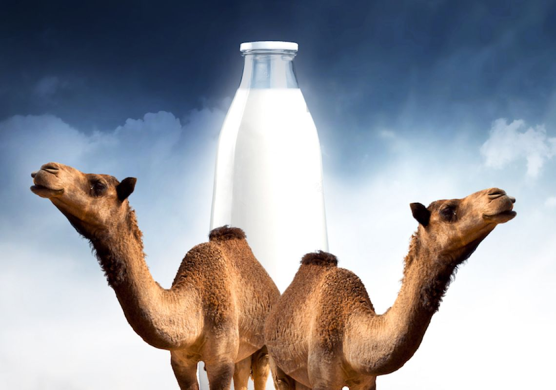 Camel milk: Could 'ships of the desert' present an alternative future for those with dairy intolerance?