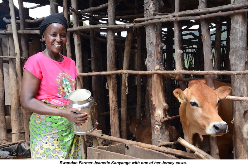 Jeanette kanyange jersey cow rwanda v2